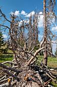 Trees killed by spruce bark beetle, Colorado, USA