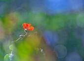 Geranium (Pelargonium sp.) flower
