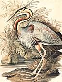 Purple heron, 18th century illustration