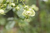 Floribundarose 'Lovely Green'