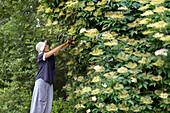 Senior woman collecting elderflowers
