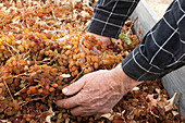 Man s hands holding dried sun muscat grapes.