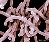 Lactobacillus acidophilus bacteria, SEM