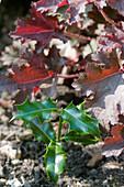Holly seedling