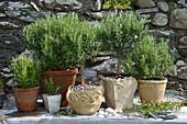 Pots of rosemary