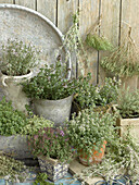 Different kinds of thyme