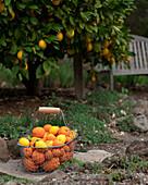 A basket filled with freshly harvested citrus underneath a lemon tree