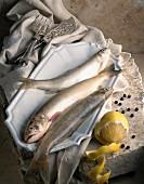 Lakefish char