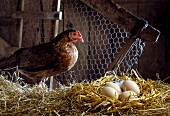 Eggs with hen, straw and wire netting