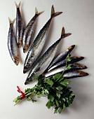Fresh mackerel, sardines and anchovies