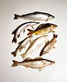 Verschiedene rohe Fische (u.a. Zander, Forelle, Karpfen)