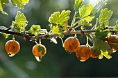 gooseberries on branch