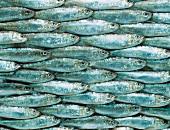 Viele Sardinen, bildfüllend