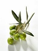 Unreife grüne Oliven am Olivenzweig