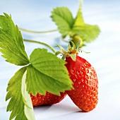 gariguette strawberry