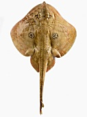 Cuckoo ray