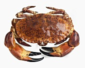 Edible crab