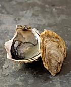 Bélon oyster