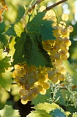 Bunch of green grapes on vine