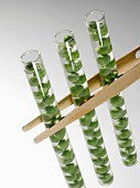 Peas in test-tube