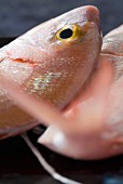 Red blacksport seabream