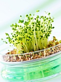 Broccoli shoots and buckwheat sprouts