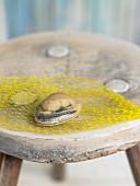 Clovisse de Galice littleneck clam