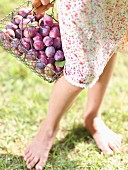 Woman carrying a basket of quetsch plums just picked from the tree
