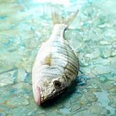Frischer Adlerfisch