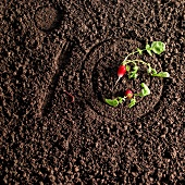 Radishes on a plate drawn in the earth