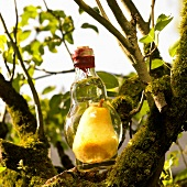 Bottle of pear Eau-de-vie in a tree