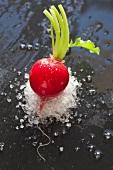 Radish with coarse salt