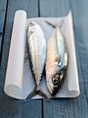 Fresh mackerels