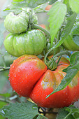 Tomatoes on the plant with dew