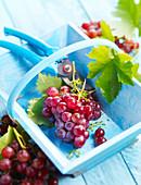 Frisch geerntete rote Weintrauben in Holzkorb