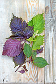 Three varieties of shiso