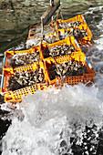Frisch gefischte französische Belon-Austern in Kisten