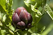 Lila Artischocke an der Pflanze