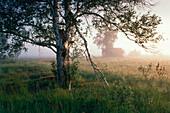 Birch tree in springtime, morning mood
