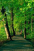 Little avenue in deciduous wood