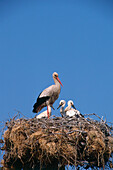 Storks nest with young birds