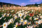 Meadow with marguerits and butterfly