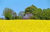 Rape field and old farmhouse, near Kappeln Schleswig-Holstein, Germany