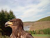 White-tailed eagle, game reserve Hellental, Before Olef Talsperre, Eifel, Germany