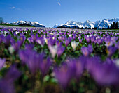 Spring meadow with crocuses, Alps, Upper Bavaria, Germany, Karwendel