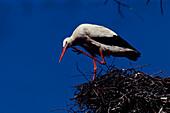 Leo de Wys Weissstorch auf dem Nest