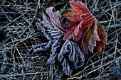 Maple leaves, hoar frost