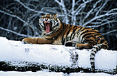 Tiger, Siberia, Russia