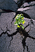 Sapling, tree pushing through tarmac, Growth, Life, Nature