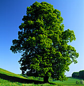 Deciduous tree, lime tree in a meadow, Landscape, Nature